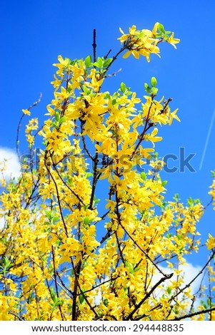Yellow flowers of forsythia on spring, april in Vilnius. - stock photo