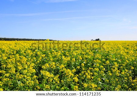 Yellow flowers of mustard field with blue sky - stock photo