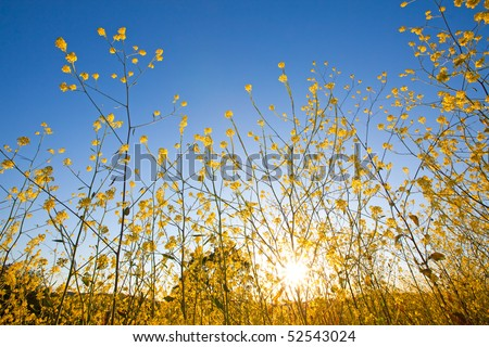 Yellow flowers of mustard plants against a blue sky with the sun rising above the horizon - stock photo