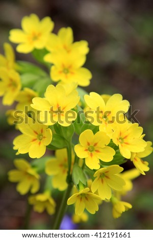 yellow flowers of Primula veris in spring