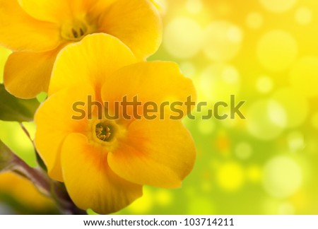 Yellow flowers on a white background, a spring primrose - stock photo