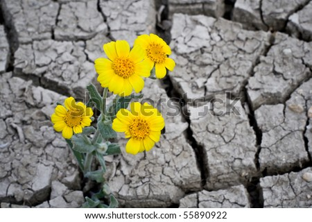 Yellow flowers on cracked mud - stock photo