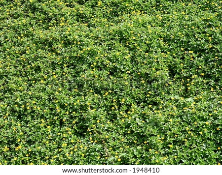 Yellow flowers on planty of green leaves