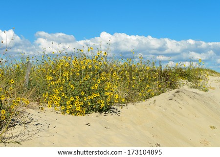 Yellow flowers on the beach dunes - stock photo