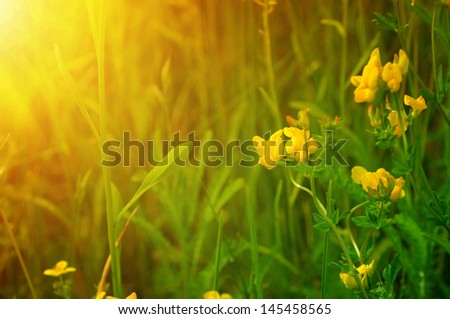 Yellow flowers on the green meadow, macro image with sun rays - stock photo