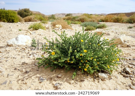 Yellow flowers on the sand in Negev desert, Israel                                 - stock photo