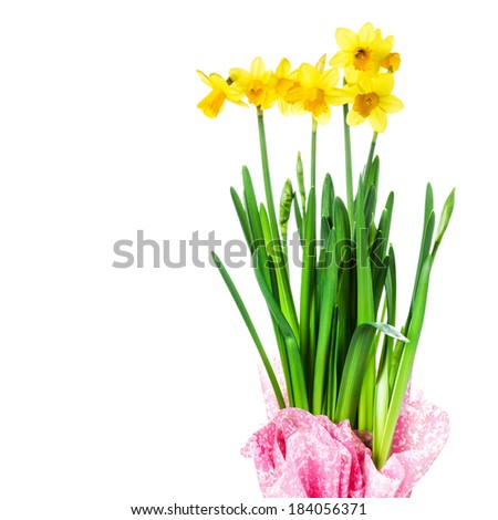 Yellow Flowers on white background close up. Daffodil flower or narcissus bouquet over white background macro.