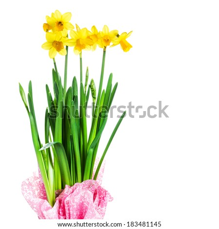 Yellow Flowers on white background close up. Spring  flowers or narcissus bouquet over white background macro.