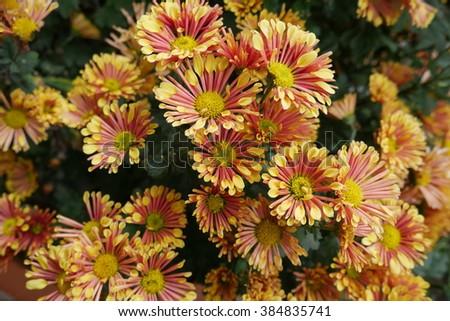 yellow flowers texture - stock photo