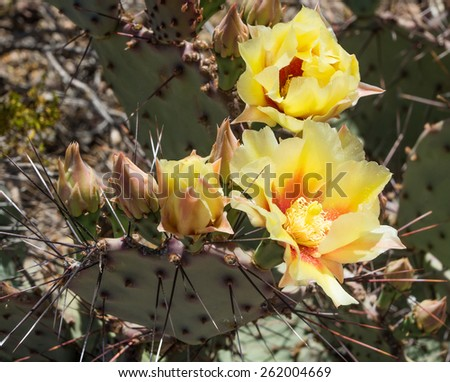Yellow flowers Tulip prickly pear (Opuntia phaeacantha) - stock photo