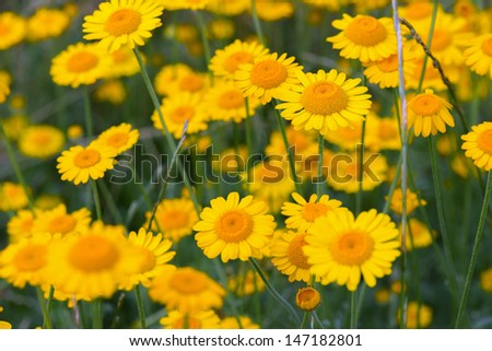 Yellow flowers with foreground and background blur - stock photo
