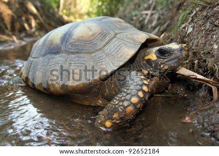 Yellow Footed Amazon Tortoise (Geochelone denticulata) in the WILD in the Peruvian Amazon - stock photo