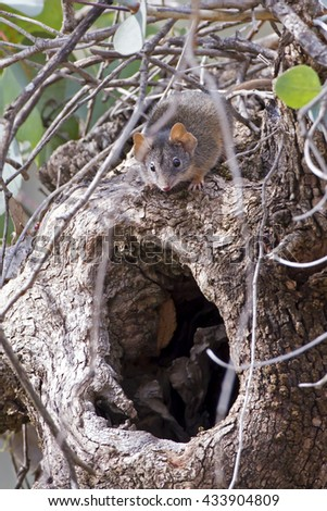 Yellow-footed Antechinus (Antechinus flavipes) Chiltern - Mt Pilot National Park, Victoria, Australia