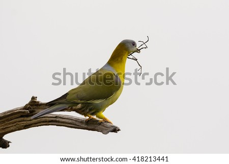 Yellow-footed green pigeon (Treron phoenicoptera), also known as yellow-legged green pigeon picking wooden sticks for making her nest.