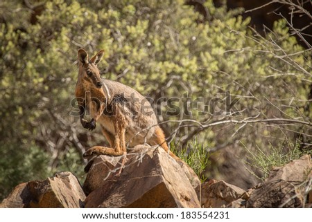 Yellow Footed Rock Wallaby, Brachina Gorge