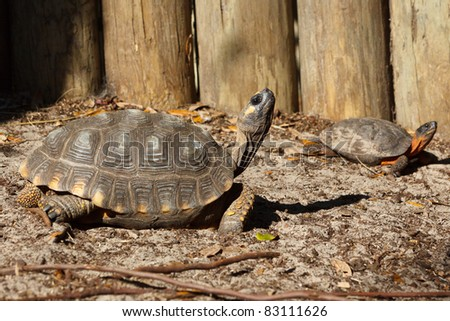Yellow-footed tortoise, Chelonoidis denticulata,  captive (Red-footed Tortoise in background)