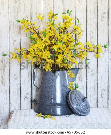 yellow forsythia in old large coffee pot