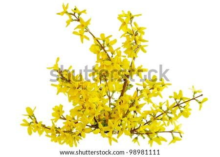 Yellow Forsythia Laburnum spring flower isolated on white - stock photo