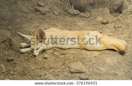 yellow fox with large ears lying on the sand