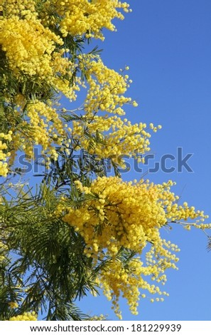 yellow fragrant mimosa flower symbol of the feast of the woman - stock photo