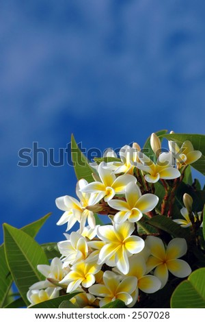 Yellow frangipanis with blue sky background - stock photo