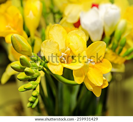 Yellow freesia flowers, close up, yellow vegetal background.