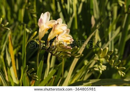 yellow freesia flowers in bloom - stock photo