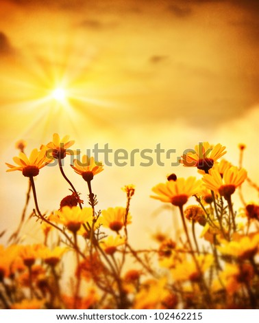 Yellow fresh daisy field, blooming spring flowers over warm sunset, wildflower meadow, peaceful glade, beautiful garden plant, natural floral old vintage background with sun light, retro style picture - stock photo