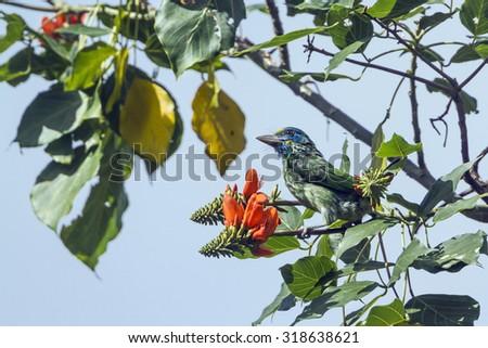 Yellow-fronted barbet in Ella, Sri Lanka ; specie Psilopogon flavifrons - stock photo