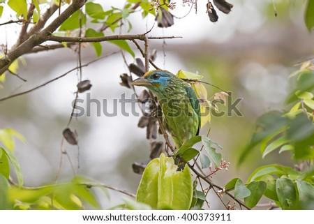 Yellow-fronted Barbet (Megalaima flavifrons) Sinharaja Rainforest Reserve, Sri Lanka - stock photo