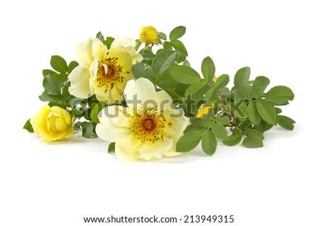 yellow garden roses isolated on white - stock photo