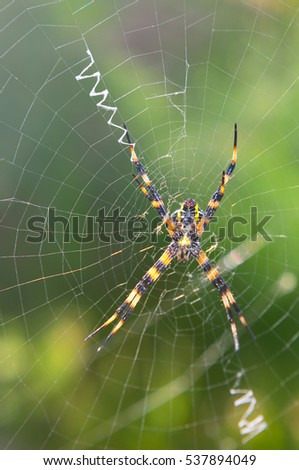 Yellow garden spider on the web in Hawaii
