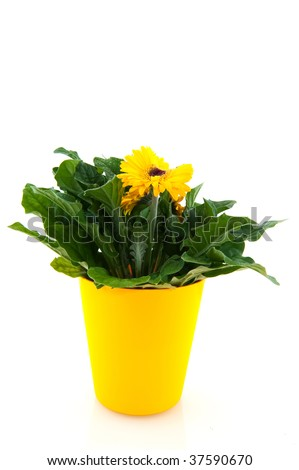 Yellow Gerber in flower pot isolated over white