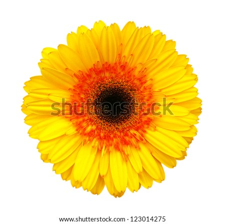 Yellow gerber isolated on white background - stock photo