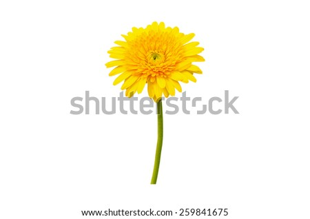 Yellow Gerbera bloom Flowers isolated on white background. - stock photo