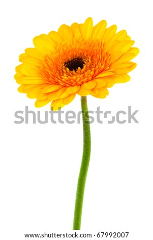 yellow gerbera close up on white background - stock photo