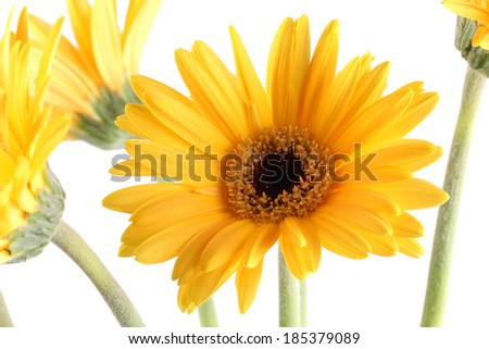 Yellow Gerbera daisy Flowers black centre  - stock photo