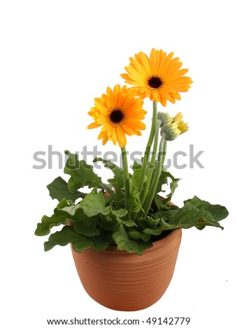 Yellow Gerbera Daisy plant in terracotta pot - stock photo