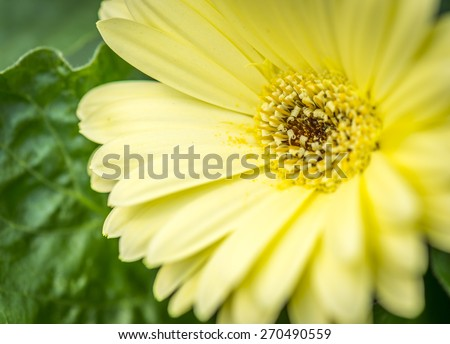 Yellow Gerbera Daisy up close with shallow depth of field - stock photo