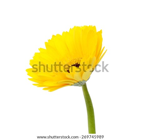 Yellow gerbera flower, Isolated on white background - stock photo