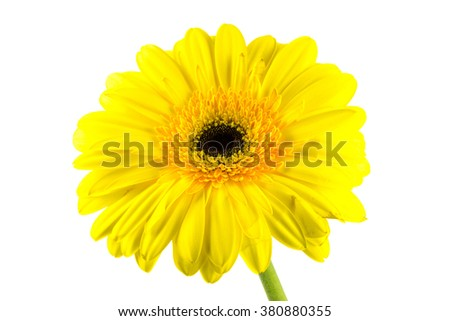 Yellow gerbera flower isolated on white background / yellow gerbera flower isolated on white with clipping path / Beautiful daisy gerbera flower isolated on white background - stock photo
