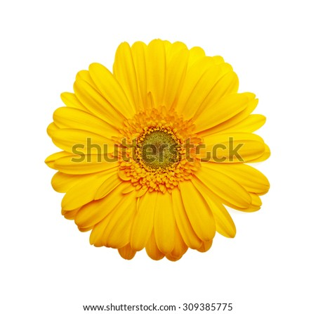 Yellow gerbera flower on a white background - stock photo