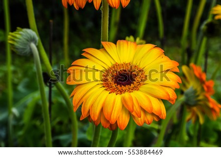 Gerbera stock images royalty free images vectors for Flowers that mean life