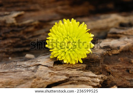 Yellow gerbera on wooden background