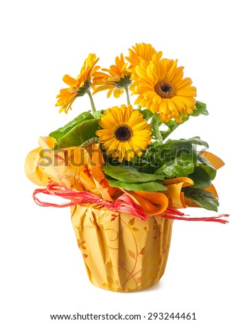Yellow gerbera plant in a flowerpot isolated on white - stock photo