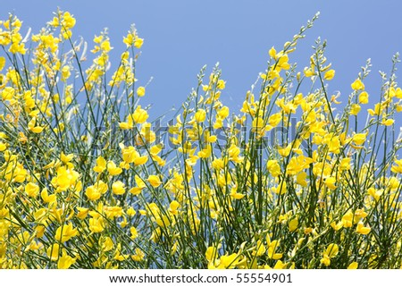 Yellow Ginestra Flowers On Blue Sky Background - stock photo