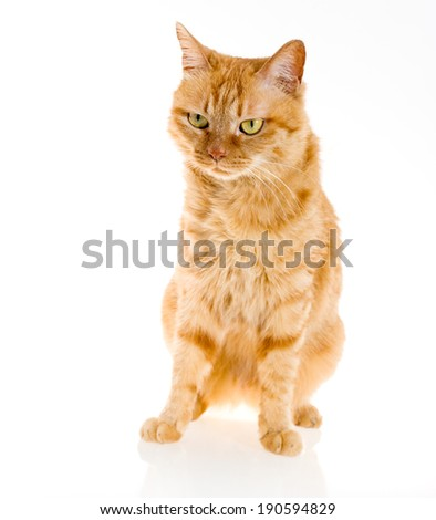 yellow ginger cat pet isolated  - stock photo
