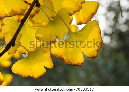 Yellow ginkgo leaf in autumn - stock photo