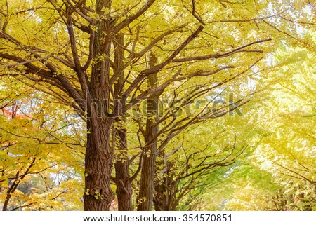 yellow ginkgo leaves and branch in nature