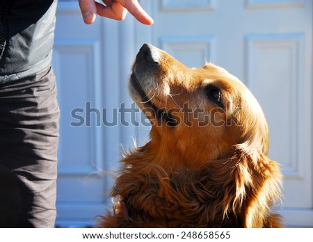 yellow golden retriever dog portrait looking up to mans arm outdoors - stock photo